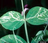 Pea Leafminer Leaves