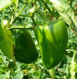 Sweet pepper Buran.jpg
