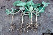 Cucumber Root-Knot Nematode
