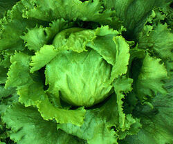 Lettuce-1-.jpg