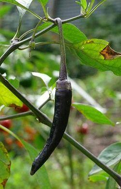 Chilli Cayenne long purple.jpg