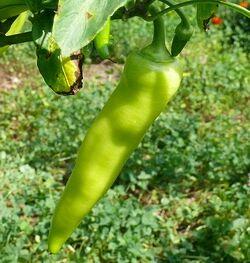 Sweet pepper Banana.jpg