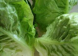 Lettuce Little Gem.jpg