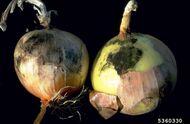 Onion Grey mould Botrytis Left Black mould Aspergillus niger Right