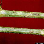 Watermelon Anthracnose Colletotrichum orbiculare stem