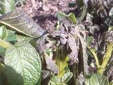 Potato Frost Damage