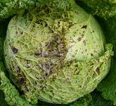 Cabbage Turnip Yellow Mosaic Virus