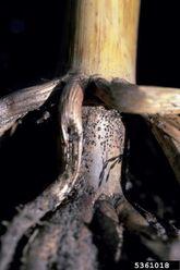 Corn Pink root of onion Phoma terrestris