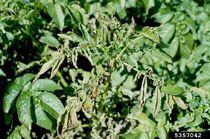 Potato Clavibacter michiganensis Leaf