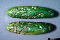 Cucumber Anthracnose