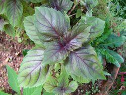 Basil Purple ruffles basil.jpg
