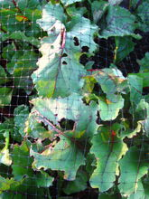 Beetroot Cabbage Moth Damage