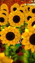 Garden Paws - Sunflower Peekaboo MobileBG