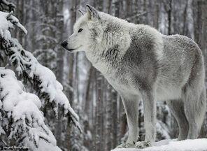 LWhite Wolf.jpg