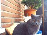Gato británico azul