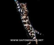 Gato-bengali-lepardland