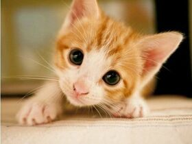 Gato dorado.jpg