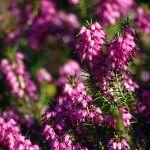 Nectar de brezo