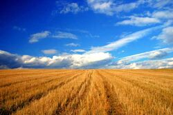 Wheat before harvesting in the Bărăgan Plain