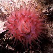Black sea fauna actinia 01