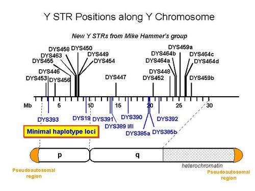 Y STR Positions.jpg