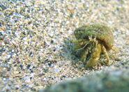 Black sea fauna hermit crab 01
