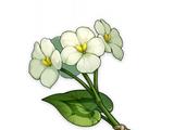 Цветок цинсинь