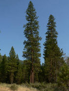 Ponderosa-pine