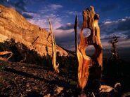 Great basin bristlecone pines