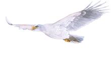 Eaglet.png