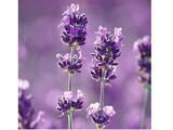 Tranquil Lavender & Aloe