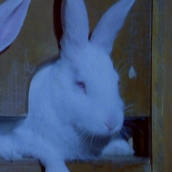 TV (rabbit)