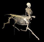 Centaur skeleton