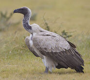 640px-2012-white-backed-vulture