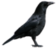 Crow PNG3103.png