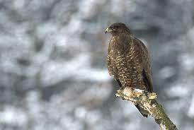 Buzzard-Hawk