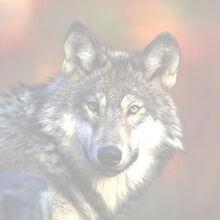 Graywolf239fd.jpg