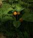 Unknown Fruit Plant