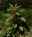 Psychotria