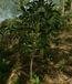 Soursop Plant