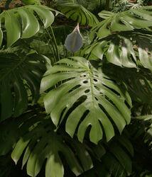 MonsteraDeliciosa plant.jpg