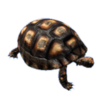 Red Footed Tortoise.png