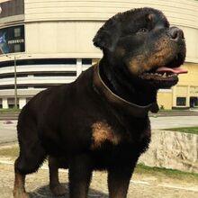 Rottweiler-NotChop-GTAV.jpg