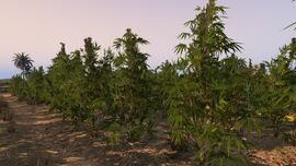 CropFields-GTAO-MarijuanaPlant