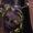 Ceste farouche (gorgone)