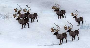 Caribou herd drakkar lake.jpg