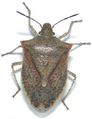 Brown stink bug adult copy.png