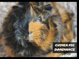 Guinea pig dominance(Signs, Behavior and how long does it last)