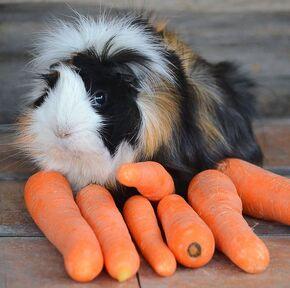 Guinea-pig-breeds-abyssinian-1549298269.jpg