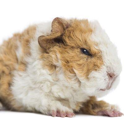 Guinea-pig-breeds-alpaca-1549298667.jpg